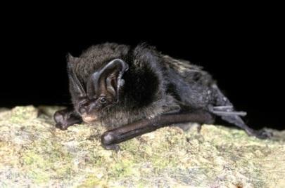 Barbastelle bat (Barbastella barbastellus)