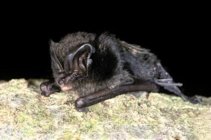 Barbastelle bat - (c) Bat Conservation Trust/Hugh Clark