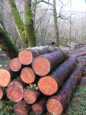 Larch timber stack ready for extraction from the woods
