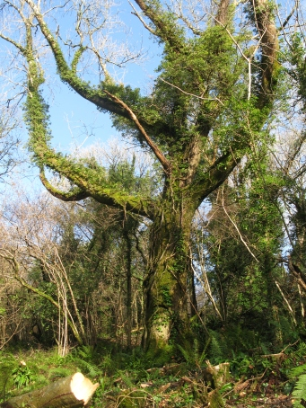 Giant ash tree bathed in sun