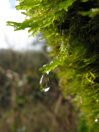 Winter sun on dripping wet moss in Hisley Wood
