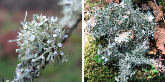 Lichen close up_960
