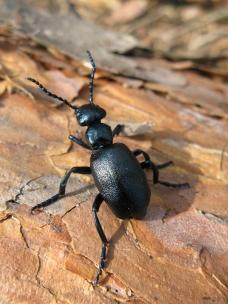 Basking oil beetle