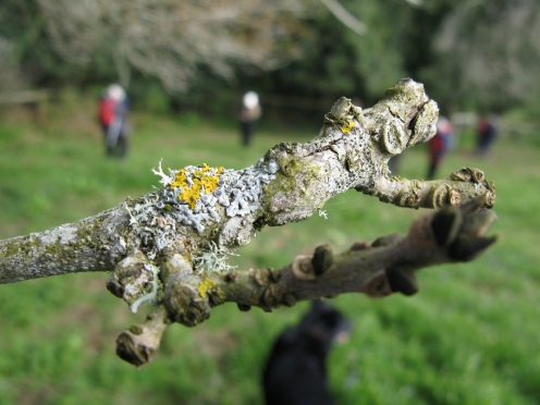 The search for lichen - Physcia aipolia showing its fruiting parts, the jam tarts