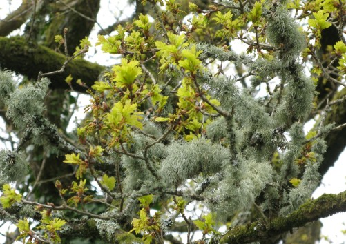 Lichen is more visible before the oak leaves are fully open