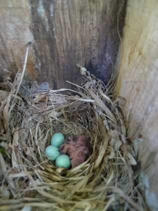 Fig 1: Nest boxes are monitored to record exact time of hatching
