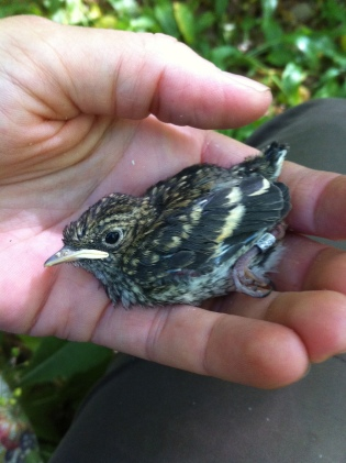 Fig 2: A Pied Flycatcher chick is ringed