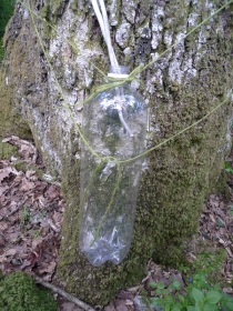 Looking for nutrients - collecting water running down the tree trunk