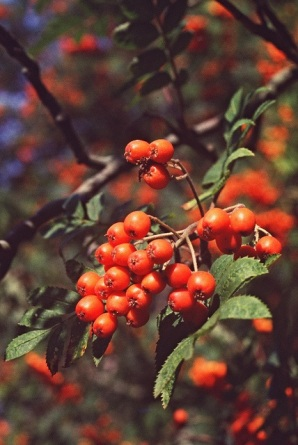 Vivid colours including the orangey reds of the rowan berries