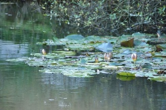 Waterlilies now grow in Haytor quarry