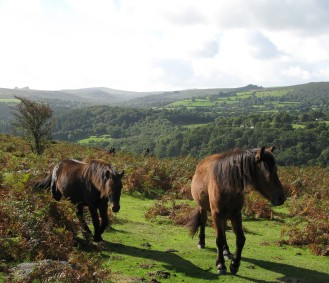 Dartmoor ponies on the open moor at Hunter's Tor