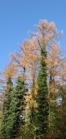 Ivy has been left on some of the larch trees as it provides such a valuable refuge for birds, bats and other mammals.