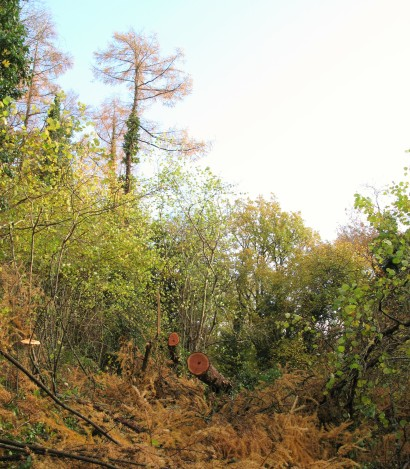Sunlight can re-energise the growth of the understory now the larch has been removed.