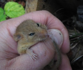 Dormice in the nest boxes around Hisley Wood are building up their body weight at different rates. The dormouse on the left is marginally over the ideal hibernation weight.
