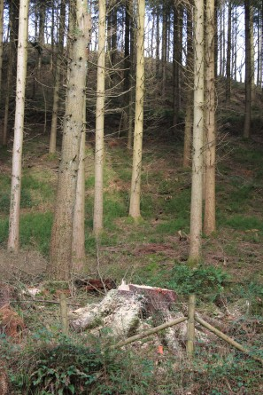 Some large conifers have been felled to let light into the woods