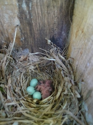 The exact date the Pied Flycatcher chicks hatch is recorded