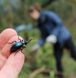 Oil beetles emerge in the spring