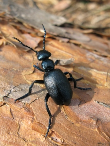 oil beetle at pullabrook