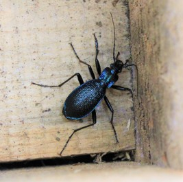 A rare blue ground beetle found in a dormouse nest box near the Vinnimore farmstead