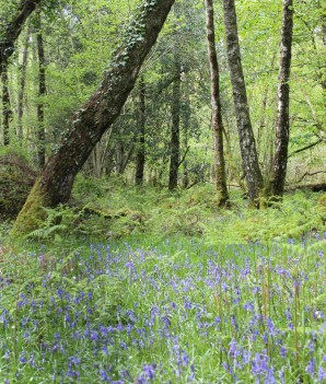 The wet woodland hosts many wild plants that display their colours in April: bluebells