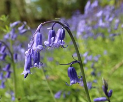 Bluebell close up (Photo: Matt Parkins)
