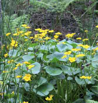 The wet woodland hosts many wild plants that display their colours in April: marsh marigold