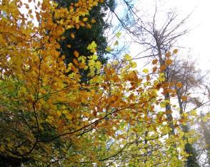 Elm tree in autumn, adding colour to Hisley Wood