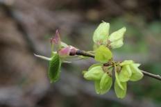 elm seeds Apr 17