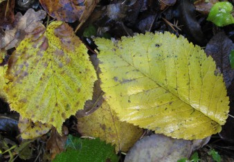 Hazel leaf and elm leaf in autumn
