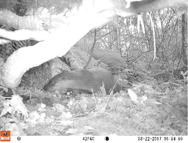 Otter on Trail Camera.Bovey