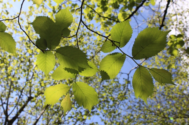 Wych elm leaves
