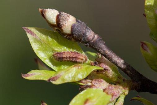 WLH larva Pete Eeles