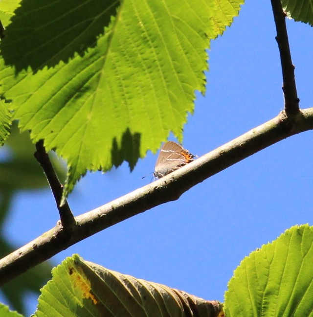 White-letter hairstreak on a wych elm twig