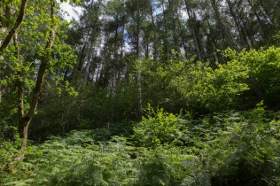 Larch woodland with a broad-leaved understorey