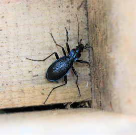 Blue ground beetle in a dormouse nest box