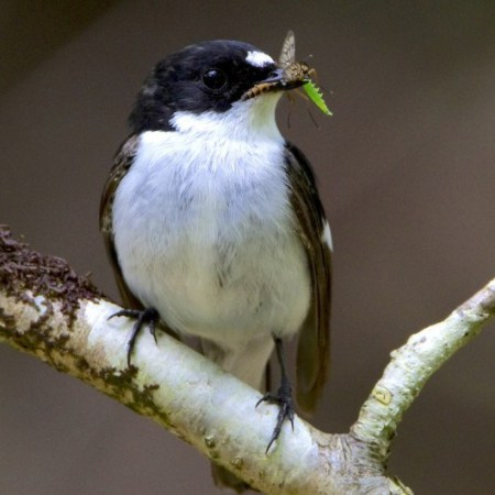 1.11 burgess_pied_fly-530x530