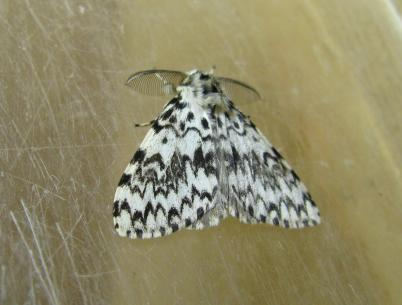 The black arches - a night-flying moth