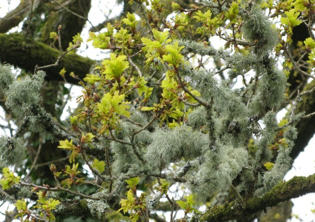 Lichen covering oak twigs as the new leaves emerge