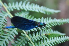 Damselfly in Trendlebere