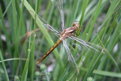 Dragonfly in Trendlebere Combe