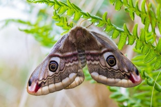 Emperor Moth (c) NE/Allan Drewitt
