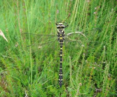 Golden Ringed Dragonfly (c)NE/Isobel Alonso)