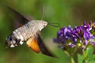 Humming-bird Hawk-moth (c) NE/Allan Drewitt