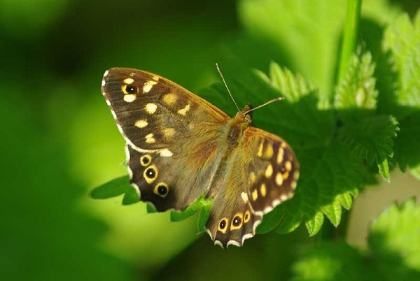 speckled wood_WTPL Glyn Baker