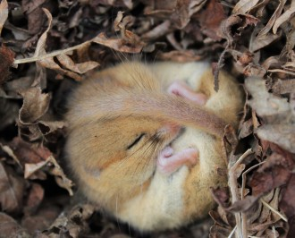 Torpid dormouse in the Bovey Valley Woods