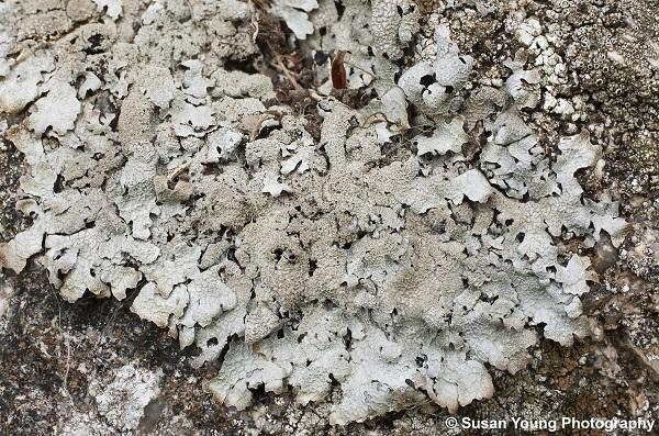 Parmelia saxatilis_Susan Young 600 px wide