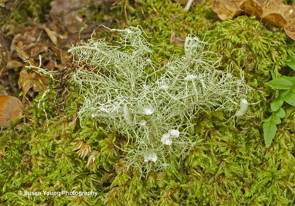Witches whiskers Usnea florida