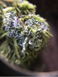 A fly resting on Cladonia lichen