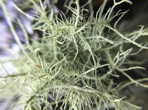 A fruticose lichen