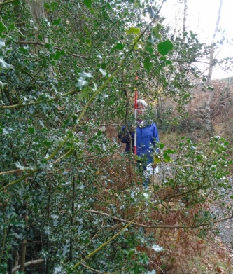 Survey photographs by our volunteers show the difference in holly density before and after management.